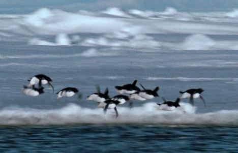 flying-penguins