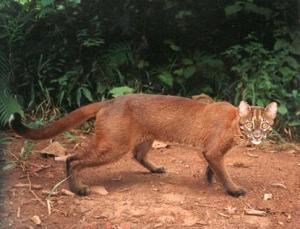 kucing-emas1
