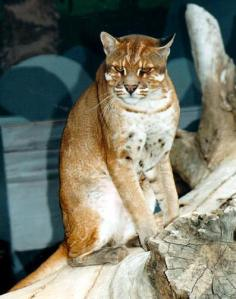 Kucing Emas ( Hewan Langka yang hampir Punah )