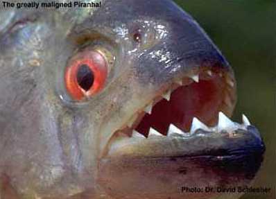 piranha1