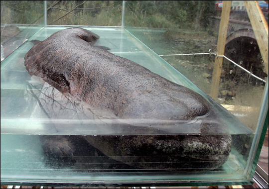 http://samudro.files.wordpress.com/2010/03/chinese_giant_salamander.jpg