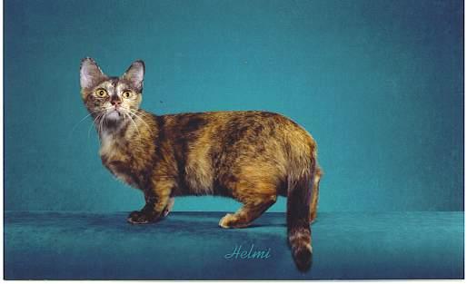 Munchkin Si Kucing Ras Kaki Pendek Samudro Com